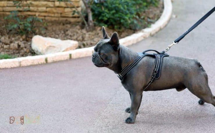 best bulldog harness