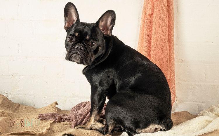 black French bulldog Featured Image