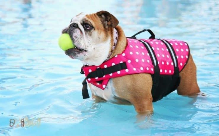 can English bulldogs swim