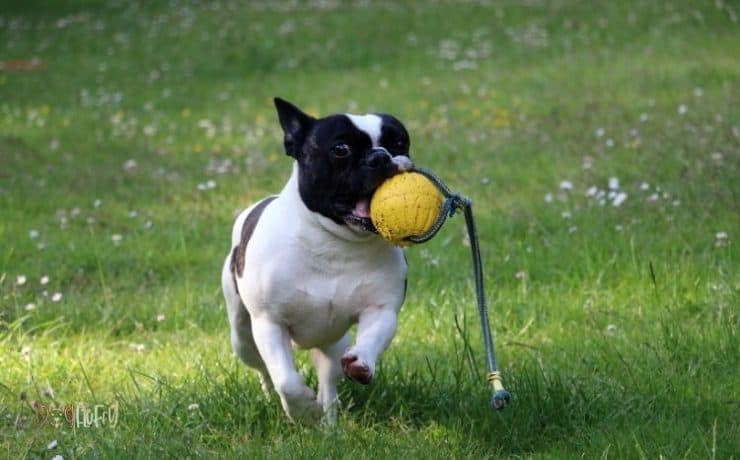 outdoor bulldog toys Featured Image
