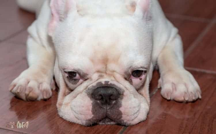 7 Most Common Bulldog Eye Infection Featured Image