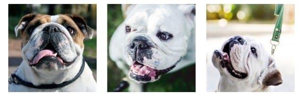 Most Unique English Bulldog Names