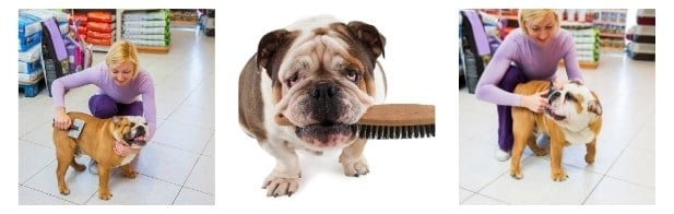 What are the common skin conditions in Bulldog to keep in mind while brushing