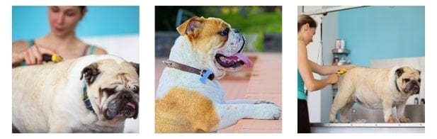 have a look at the best soft brushes for Bulldogs