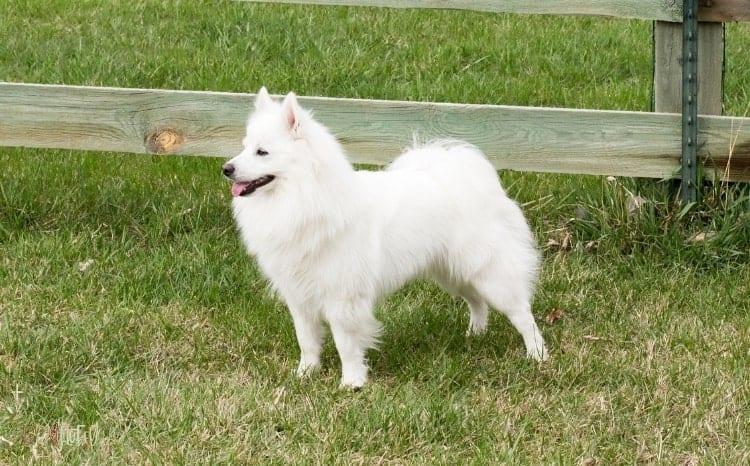 American Eskimo Fluffy Dog Breed