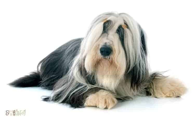 Bearded Collie Fluffy Dog Breed