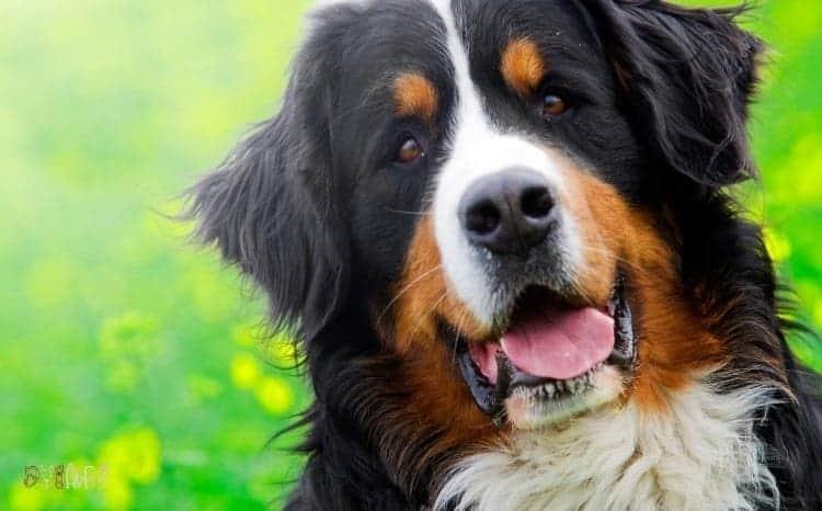 Bernese Mountain Fluffy Dog Breed