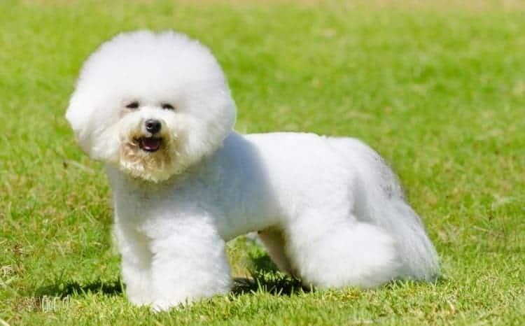Bichon Frise Fluffy Dog Breed