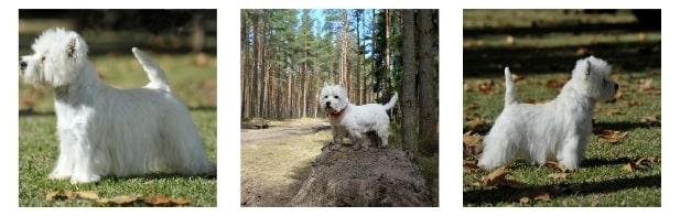 Breeder - West Highland White Terrier Internal image