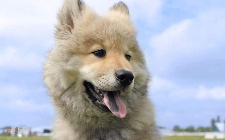Eurasier Fluffy Dog Breed