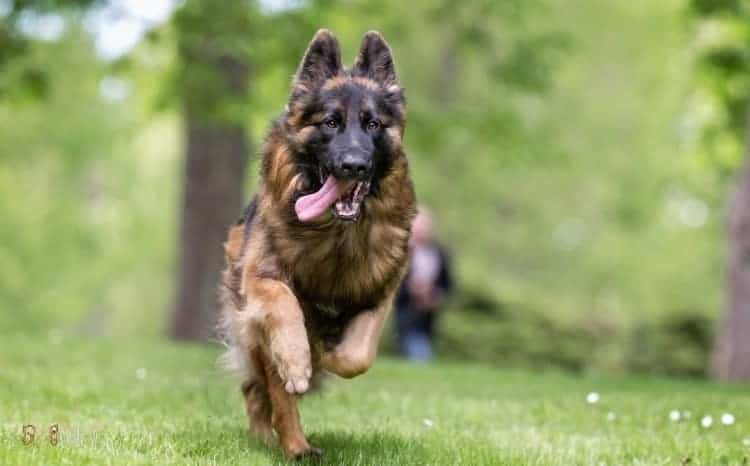 Facts You Didn't Know About German Shepherd Dog
