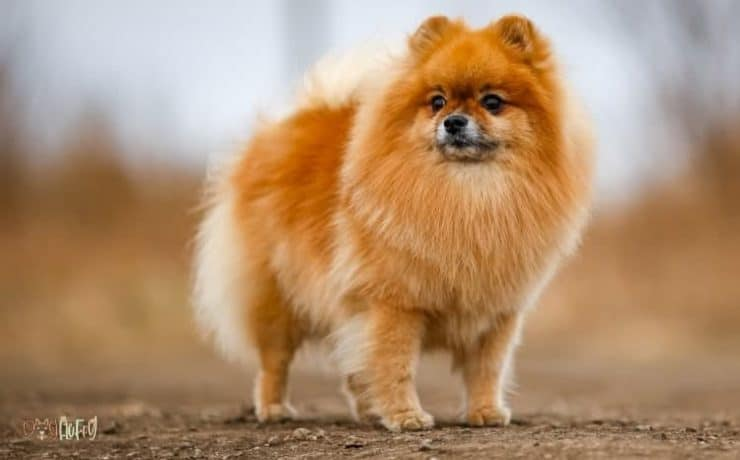 Best Fluffy Dog Breeds Featured Image