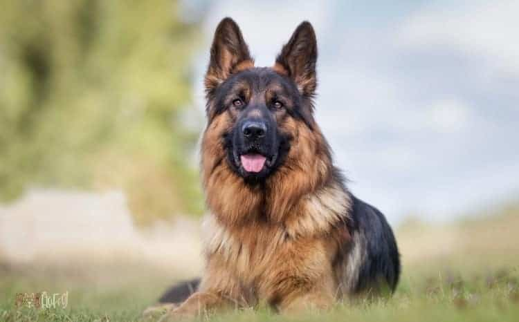 German Shepherd Dog Featured Image