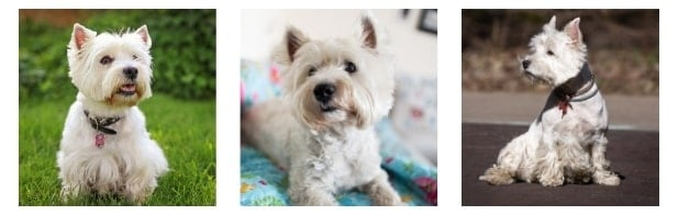 Rescue Groups - West Highland White Terrier