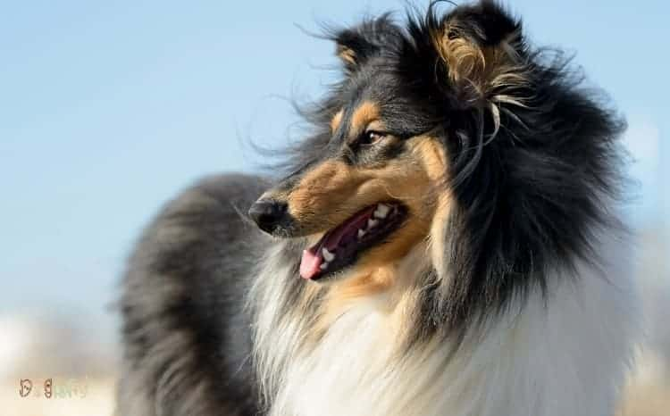 Rough Collie Fluffy Dog Breed