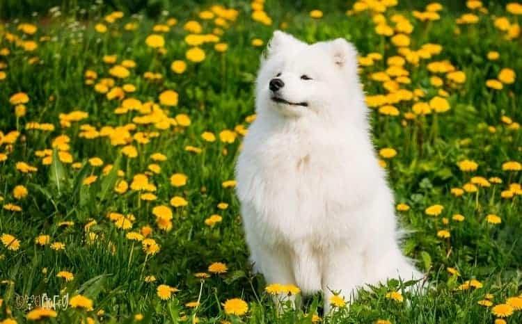Samoyed Fluffy Dog Breed
