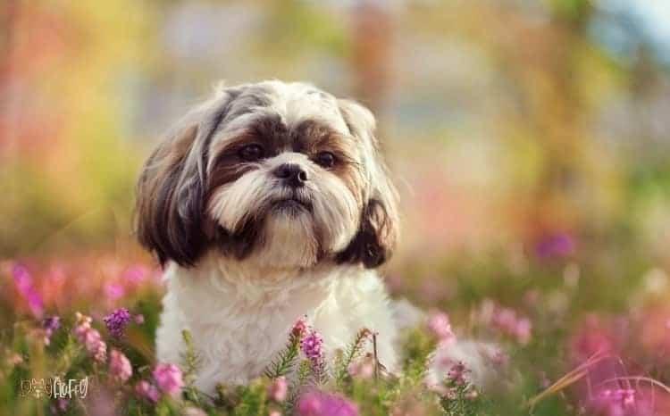 Shih Tzu Fluffy Dog Breed