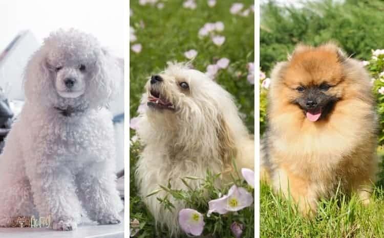 Small Fluffy Dog Breeds List