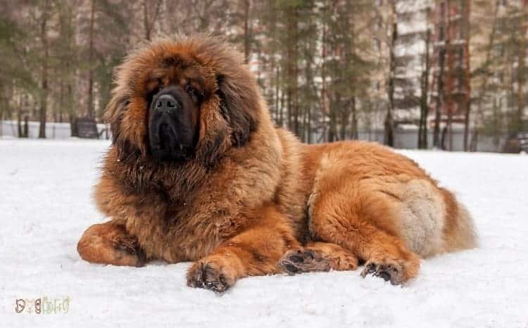 Tibetan Mastiff Fluffy Dog