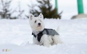 West Highland White Terrier Dog Breed Images1 1