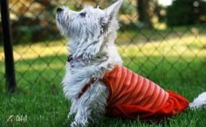 West Highland White Terrier Dog Breed Images4 1