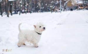 West Highland White Terrier Dog Breed Images5 1