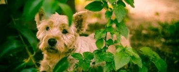 West Highland White Terrier Featured image
