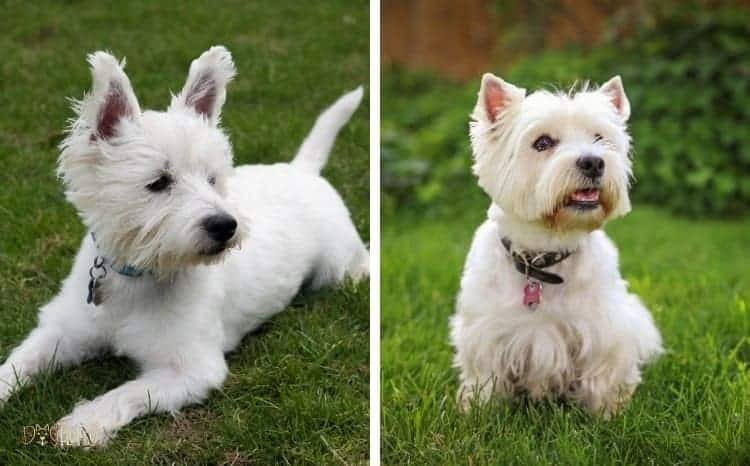 West Highland White Terrier Male of Female