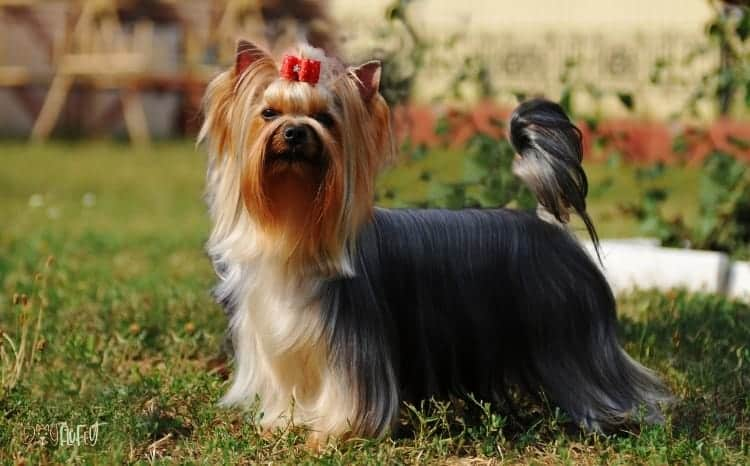 Yorkshire Terrier Fluffy Dog Breed