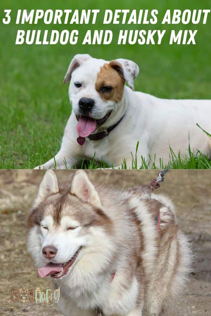 3-Important-Details-About-Bulldog-and-Husky-Mix-Pin-Image