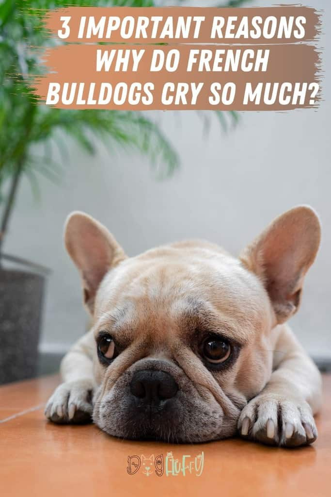 3-Important-Reasons-–-Why-Do-French-Bulldogs-Cry-So-Much_-Pin-Image