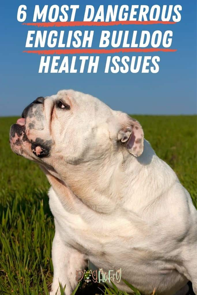 6-Most-Dangerous-English-bulldog-Health-Issues-Pin-Image