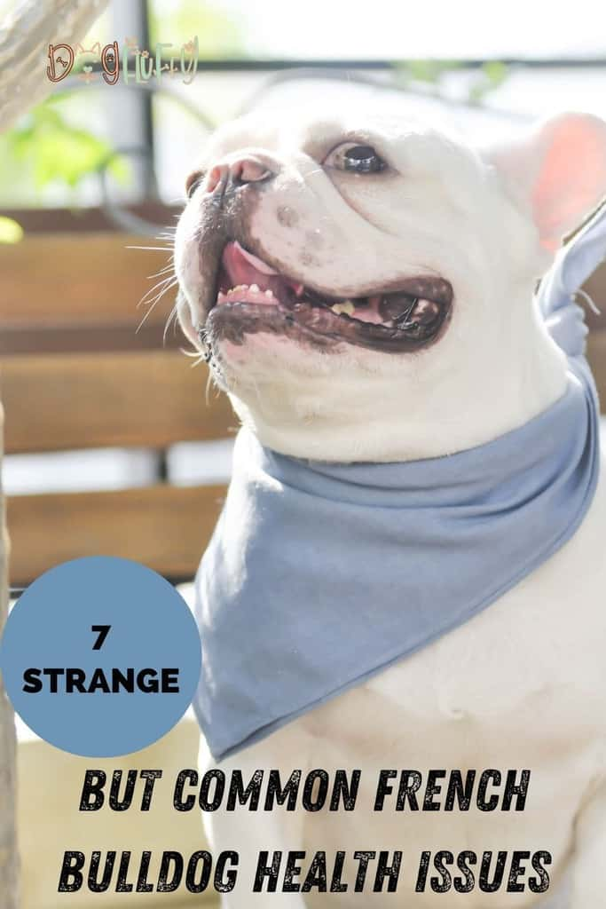 7-Strange-but-Common-French-Bulldog-Health-Issues-pin-image