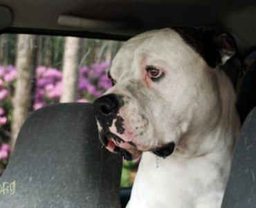 American Bulldog Health Issues featured image