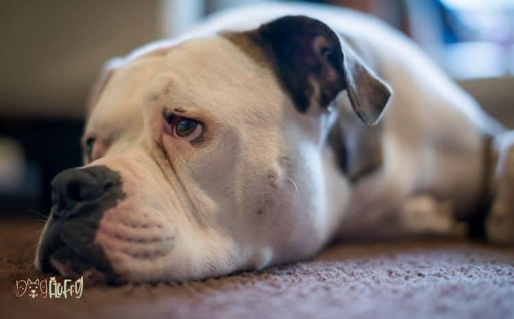 American-Bulldog-Health-Issues