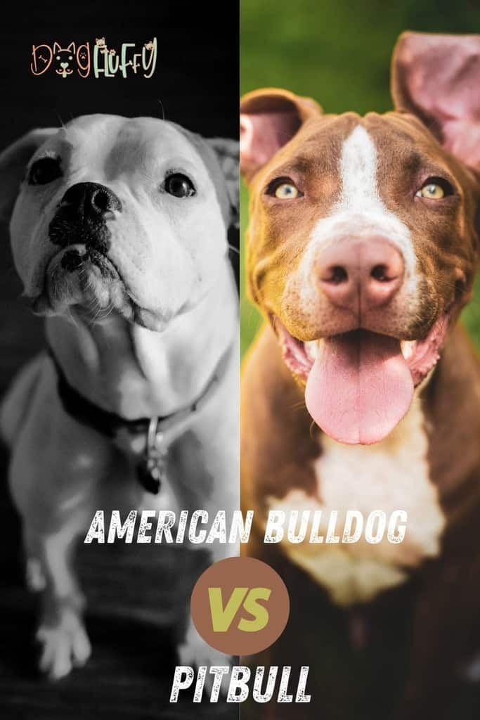 American-Bulldog-vs-Pitbull-pin-image