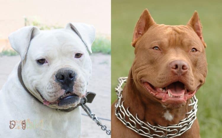 American-bulldog-and-Pitbull-mix-