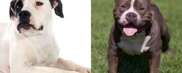 American bulldog and Pitbull mix Featured Image