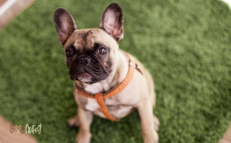 Arthritis-in-bulldogs-