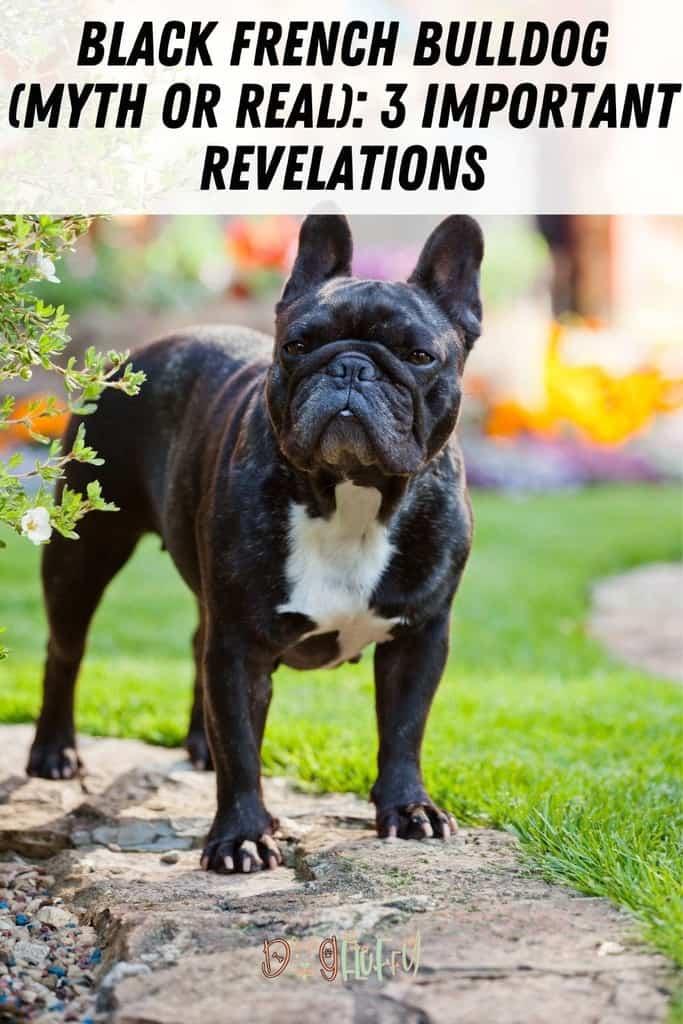 Black-French-Bulldog-Myth-or-Real_-3-Important-Revelations-Pin-Image