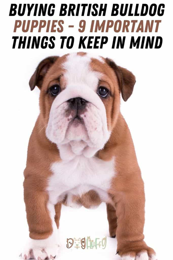 Buying-British-Bulldog-Puppies-9-Important-Things-To-Keep-In-Mind-Pin-Image