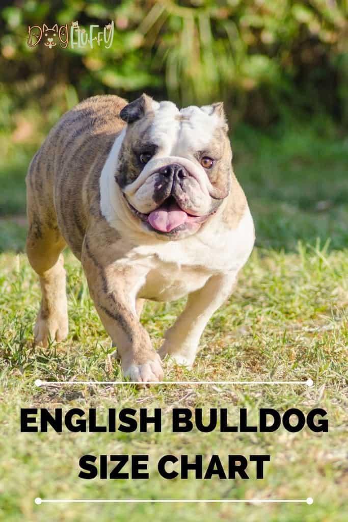 English-Bulldog-Size-Chart-pin-image