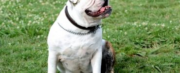 English bulldog Health Issues Featured Image