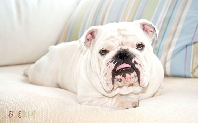 English-bulldog-average-price-featured-image-1