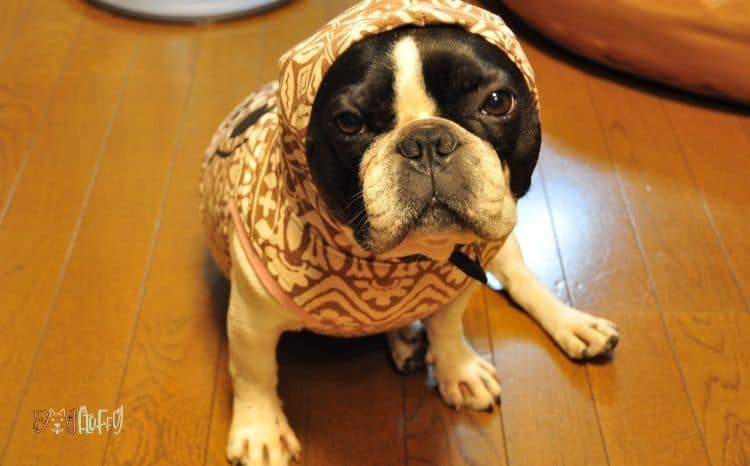 French-bulldog-outfits-Image