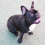French bulldog screaming featured image