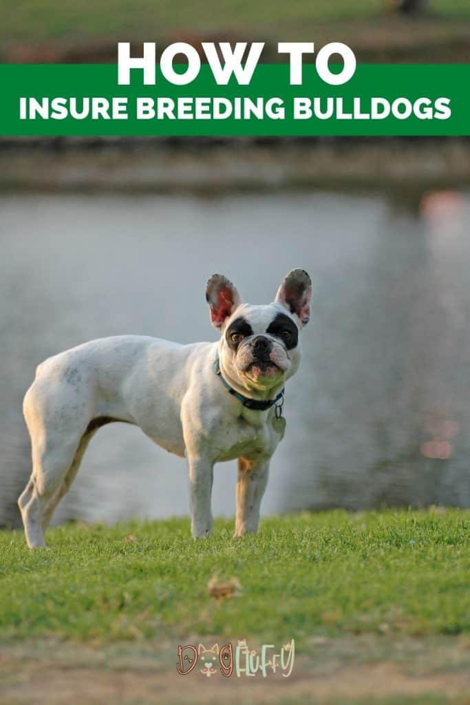 How to Insure Breeding Bulldogs PIN Image