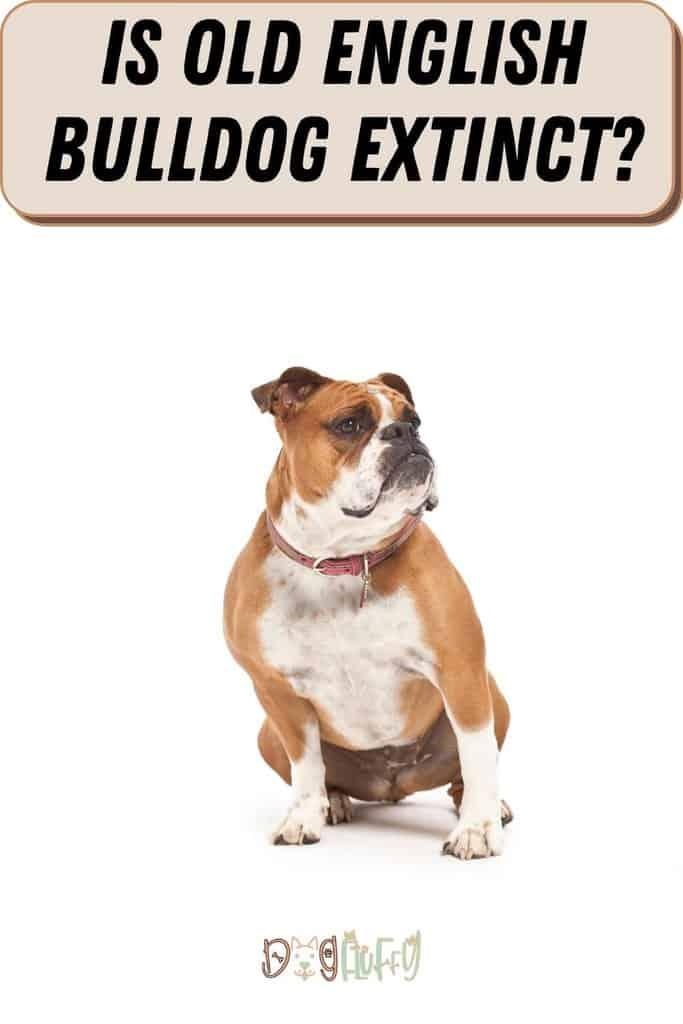 Is-Old-English-Bulldog-Extinct_-Pin-Image