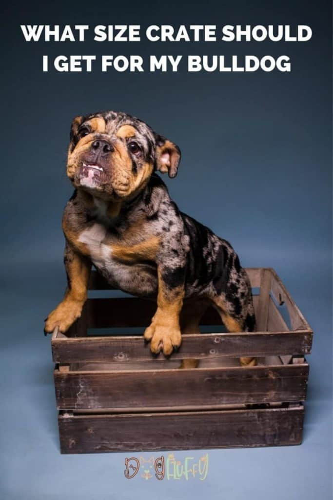 What Size Crate Should I Get For My Bulldog Pin Image