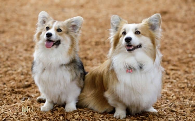 Why-Do-Female-Puppies-Hump_-6-Very-Important-Reasons-Featured-Image